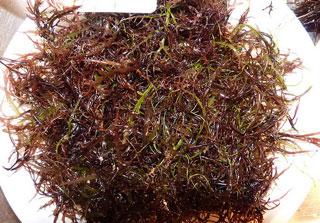 Algae-Dulse