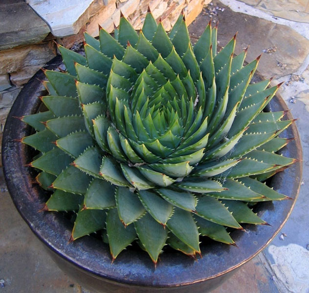 Wellness-treatment-care-with-the-miracle-plant-Aloe-Vera-houseplant